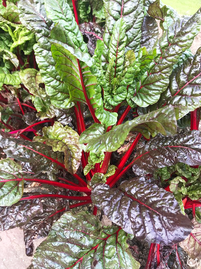 Red and green chard leaves homegrown